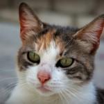 Šibenik cat
