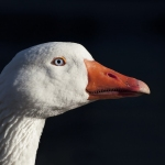 Sharp beak goose